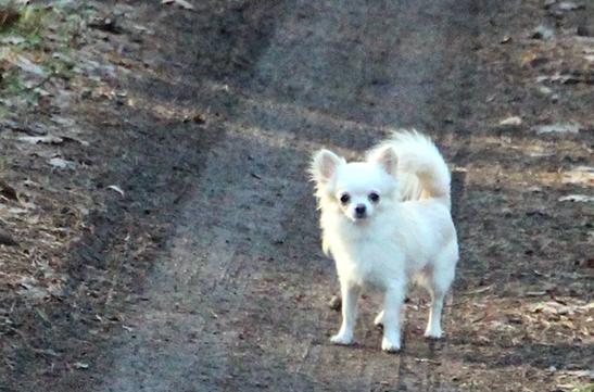 chihuahua, długowłosy, champion, mały, crazy passion, hodowla