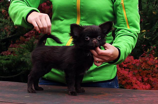 UNBELIVEABLE DREAM CHOCO Jan-Chi-Da, czekoladowa chihuahua