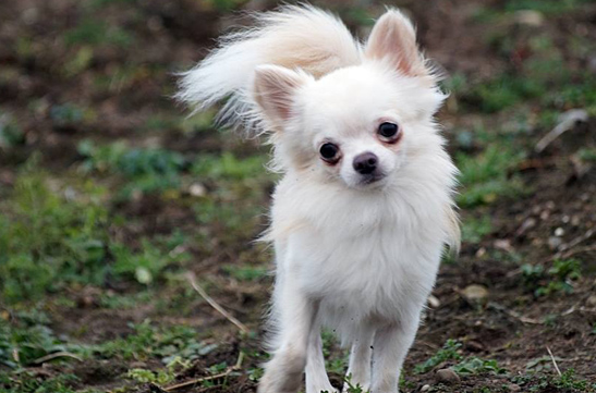 chihuahua, długowłosy, champion, mały, sweet indetd that's amore