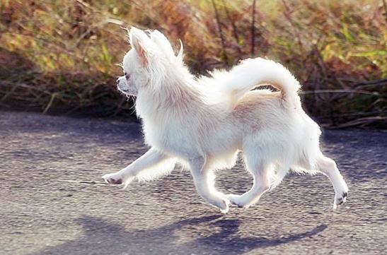 chihuahua, długowłosy, champion, mały
