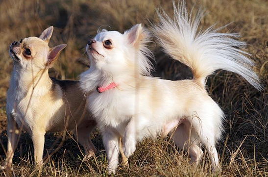 chihuahua, długowłosy, champion, mały, sweet inded, that's amore