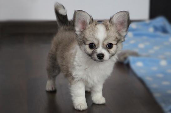 chihuahau miniaturka