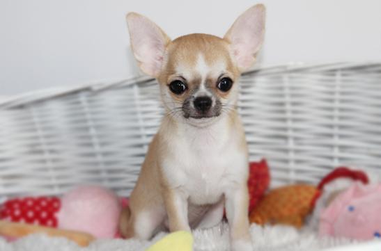 chihuahua krótkowłosy