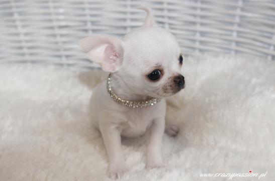 biały chłopczyk chihuahua krótkowłosy